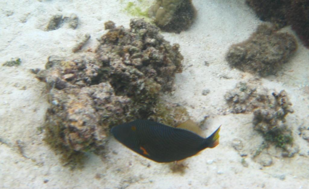 colorful fishes Mo'orea
