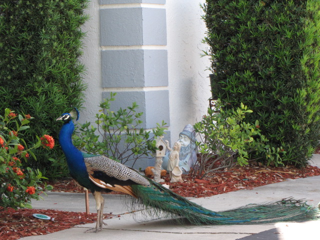 Peacock in Cape Canaveral
