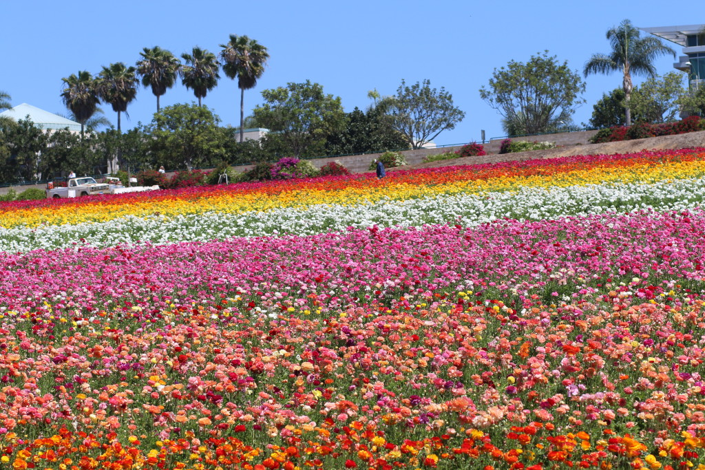 The Flower Fields of Carlsbad